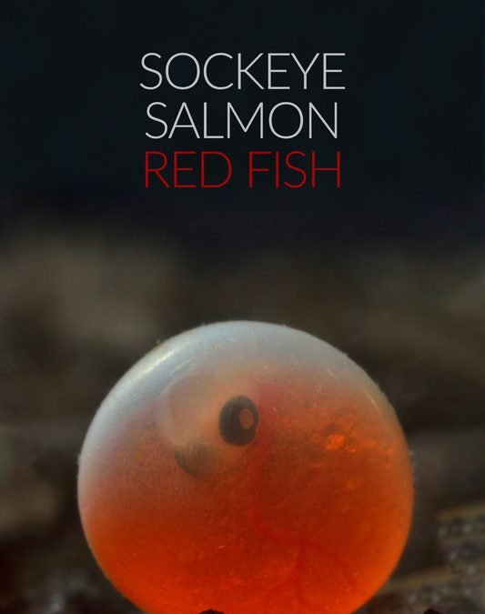 Sockeye Salmon. Red fish